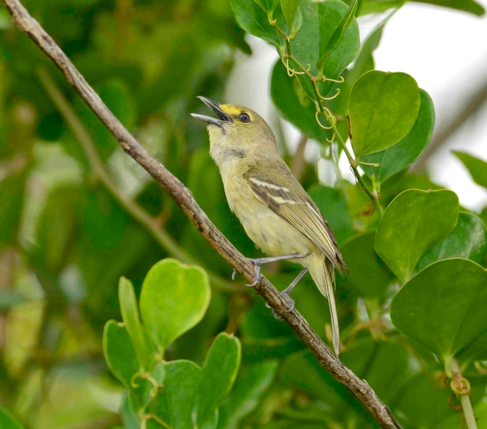 Thick-billed Vireo, Abaco Bahamas.Tom Sheley
