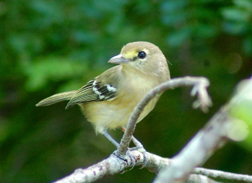 Thick-billed Vireo, Abaco (Becky Marvil 2).jpg