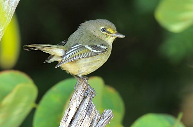Thick-billed Vireo, Abaco (Bruce Hallett 2)