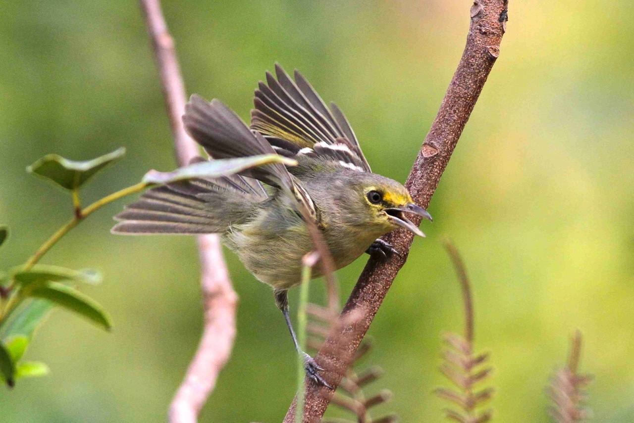 Thick-billed Vireo, Abaco (Gerlinde Taurer)