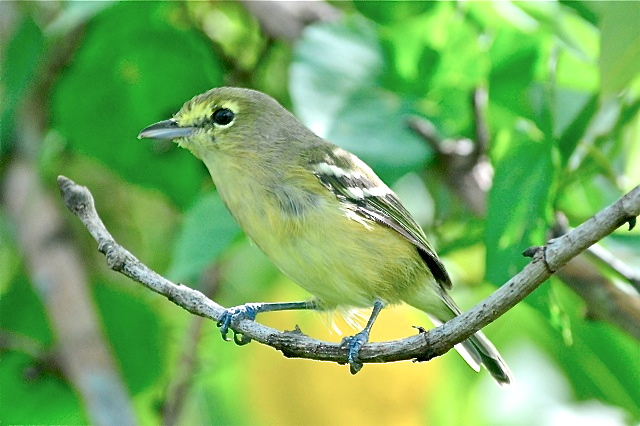 Thick-billed Vireo, Abaco (Tony Hepburn)
