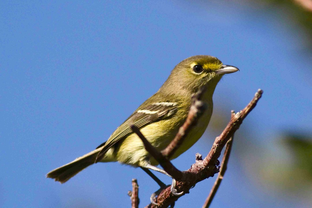 Thick-billed Vireo, Abaco (Craig Nash)