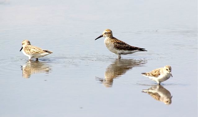 White-rumped Sandpiper + 2 semi-palmated(Woody Bracey)1