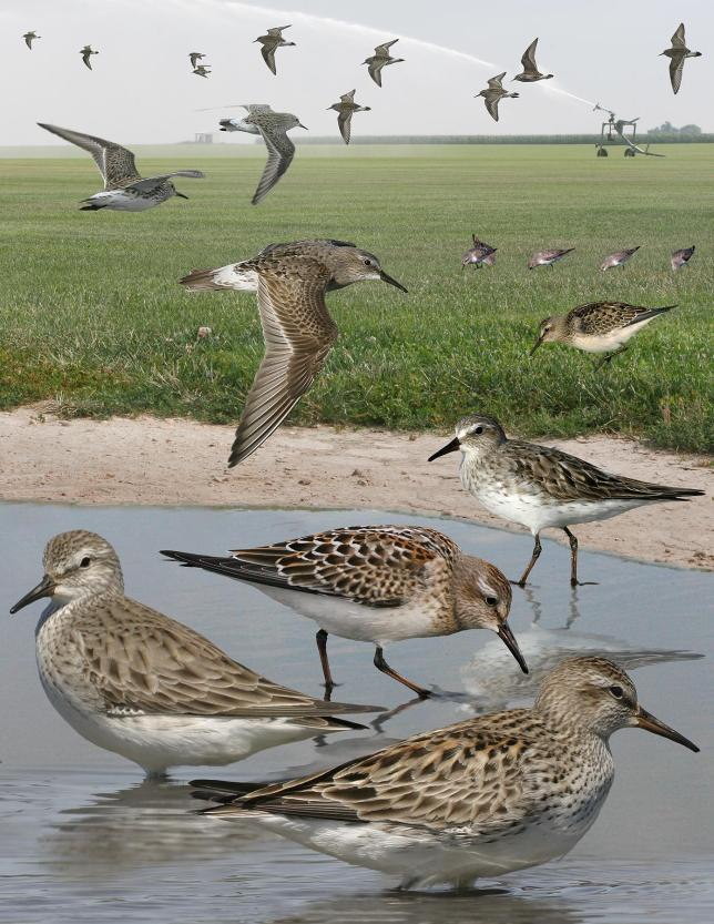 White_Rumped_Sandpiper_From_The_Crossley_ID_Guide_Eastern_Birds