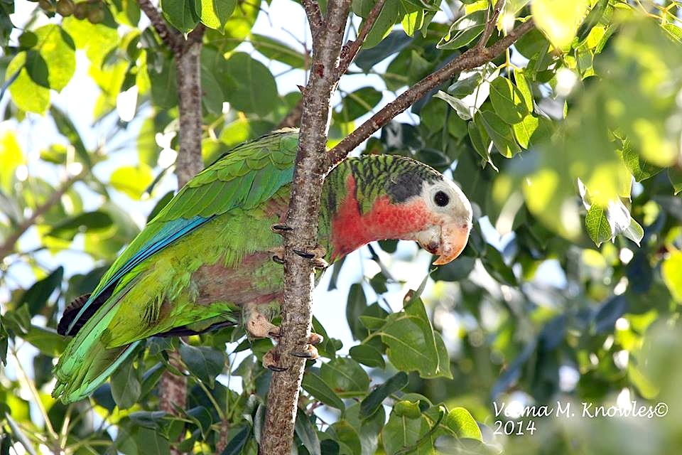 Abaco Parrot, Abaco (Velma Knowles)