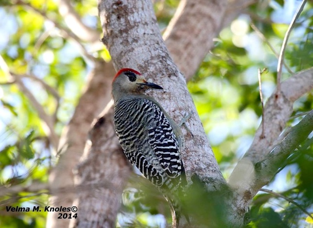 West-Indian Woodpecker, Abaco (Velma Knowles)