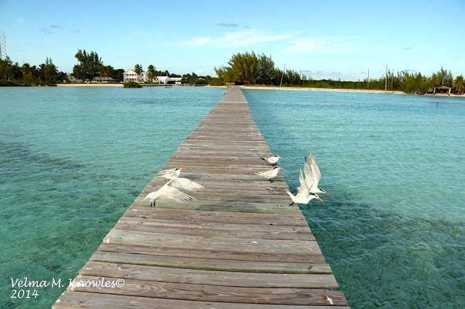 Royal Terns at Long Dock, Cherokee, Abaco (Velma Knowles)