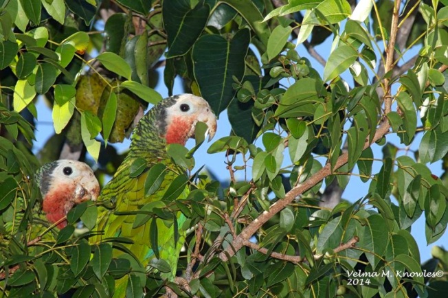 Abaco Parrot pair, Abaco (Velma Knowles)