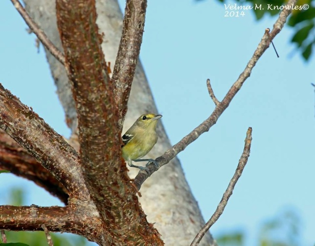 Thick-billed Vireo, Abaco (Velma Knowles)