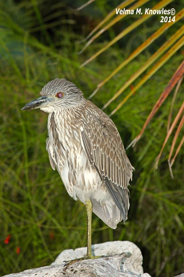 Yellow-crowned Night Heron, Abaco (Velma Knowles)