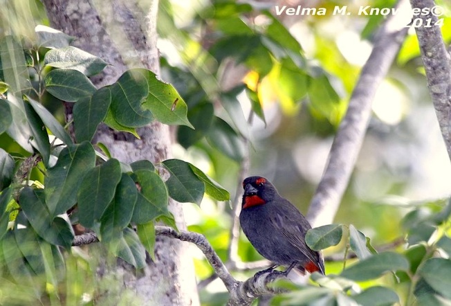 Greater Antillean Bullfinch, Abaco (Velma Knowles)