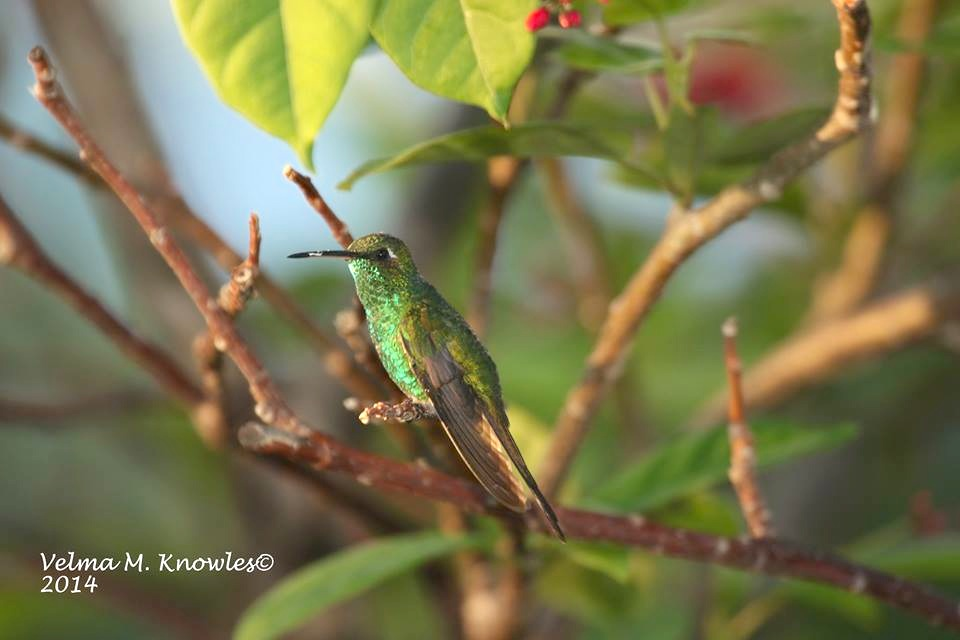 Cuban Emerald, Abaco (Velma Knowles)