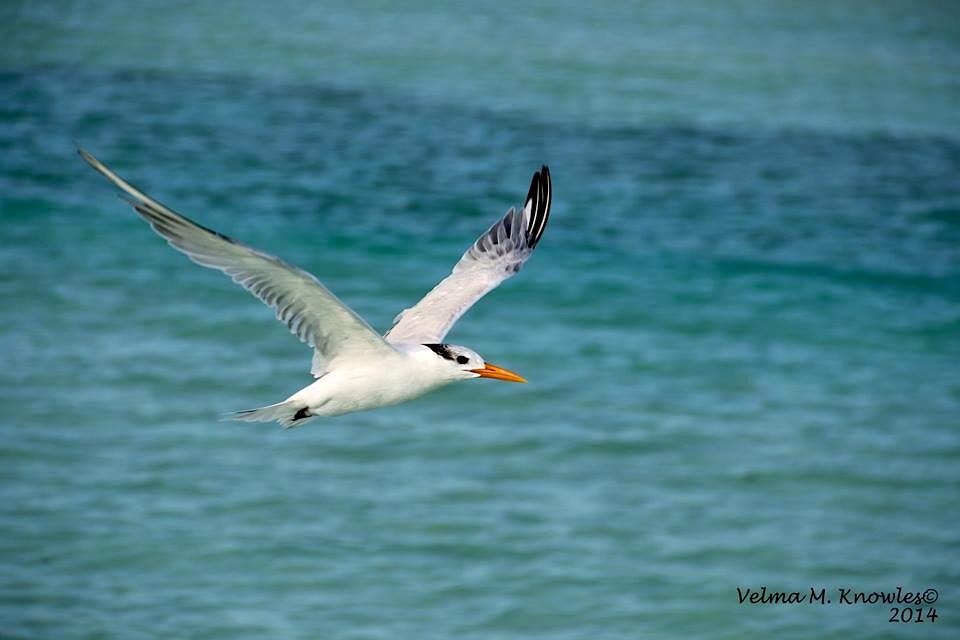 Royal Tern, Abaco (Velma Knowles)