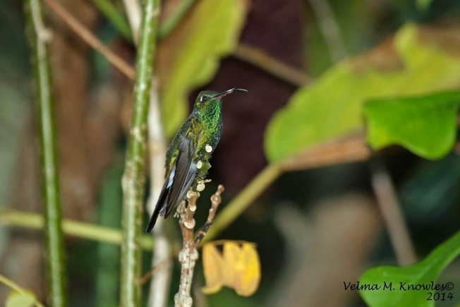 Cuban Emerald, Abaco (Velma Knowles)