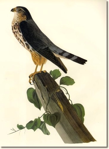 audubon-iii-scavengers-and-birds-of-prey-merlin-aka-le-petit-caporal