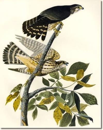 audubon-iii-scavengers-and-birds-of-prey-merlin-aka-pigeon-hawk