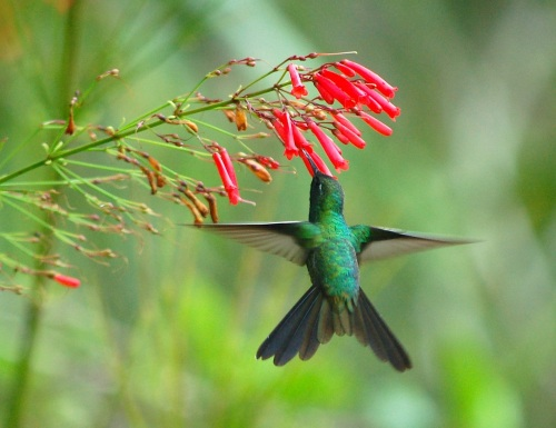 Cuban Emerald (male) Abaco - Becky Marvil