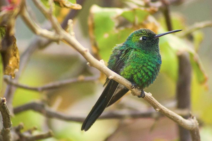 Cuban Emerald (male), Abaco (Erik Gauger)