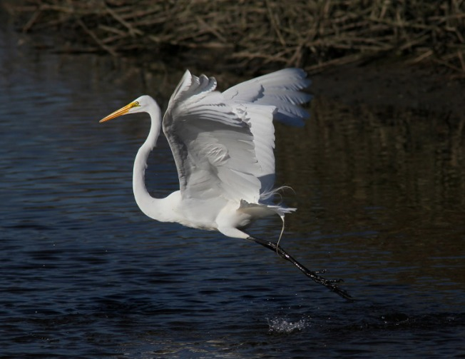 egret-fight-in-the-salt-marsh-01 (Phil Lanoue)