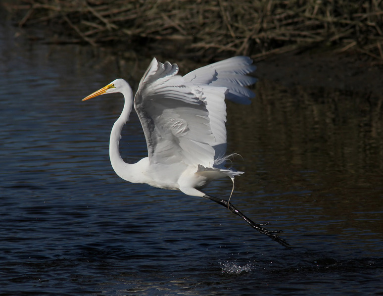 egret-fight-in-the-salt-marsh-01 (Phil Lanoue)