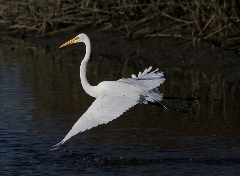 egret-fight-in-the-salt-marsh-02 - (Phil Lanoue)