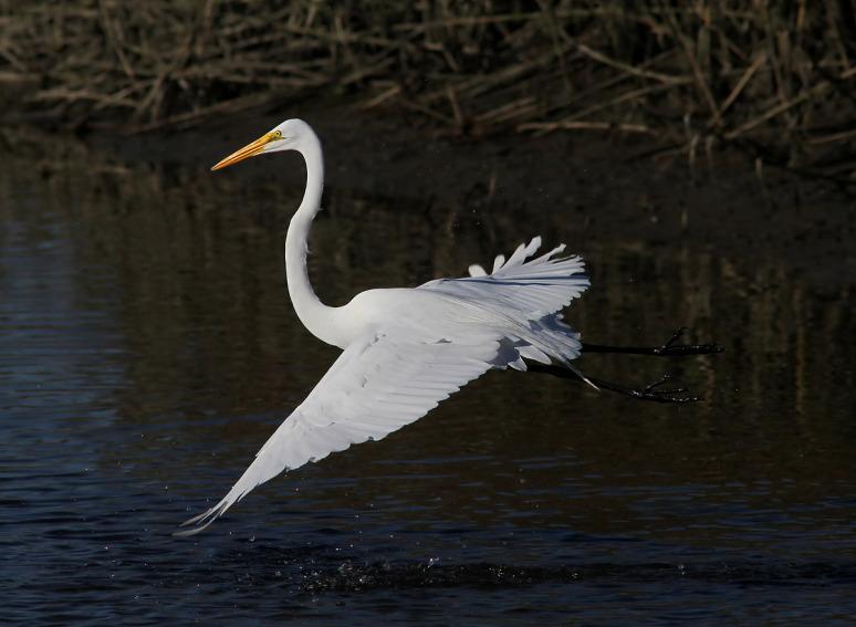 egret-fight-in-the-salt-marsh-02 - (Phil Lanoue)