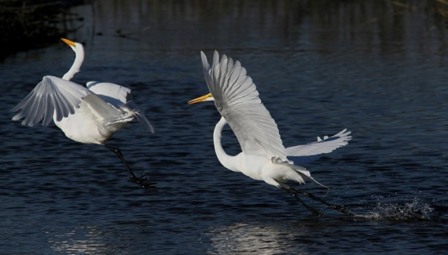egret-fight-in-the-salt-marsh-03 (Phil Lanoue)