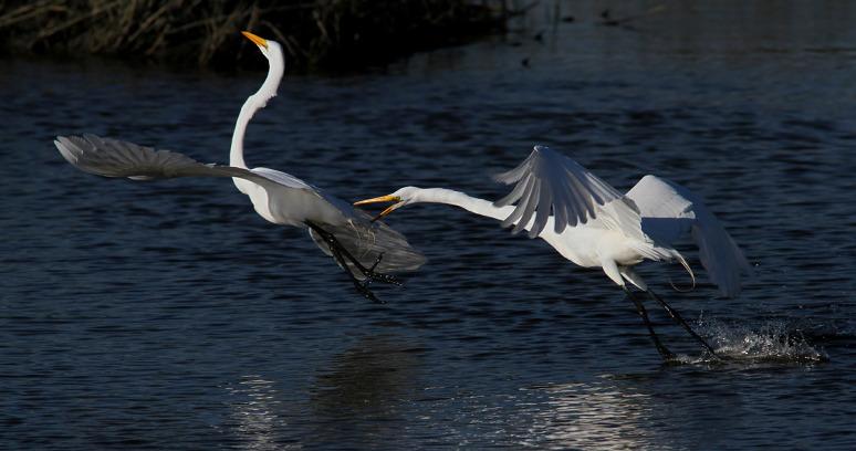 egret-fight-in-the-salt-marsh-04 (Phil Lanoue)