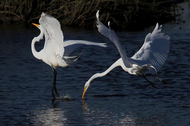 egret-fight-in-the-salt-marsh-05 (Phil Lanoue)