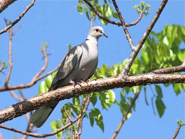 Eurasian Collared Dove, Abaco (Bruce Hallett)