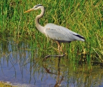 Great_Blue_Heron_Wading_2