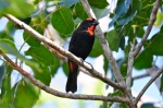Greater Antillean Bullfinch, Abaco - Tony Hepburn