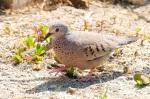 Ground Dove, Abaco -Nina Henry