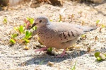 Ground Dove, Abaco -Nina Henry