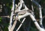 Loggerhead Kingbird, Abaco - Peter Mantle