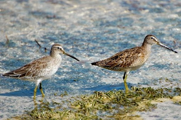 Long & Short Billed Dowitchers, Abaco Woody Bracey