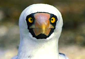 Masked Booby (SuperStock) jpg