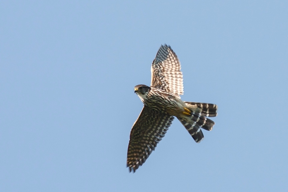 Merlin in flight, Abaco (Craig Nash)