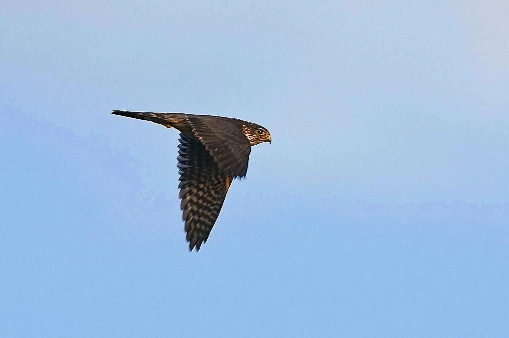 Merlin in flight, Abaco (Craig Nash)