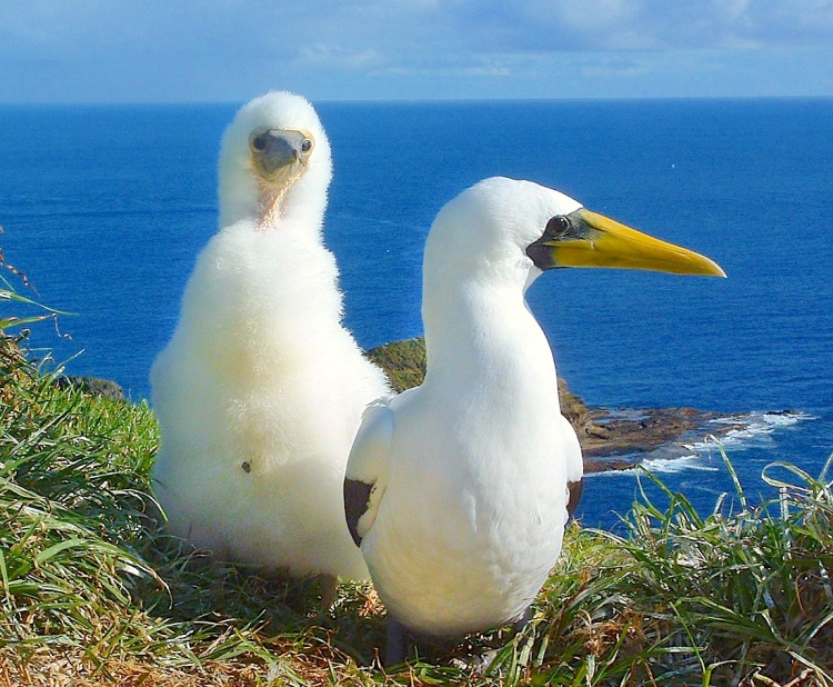Masked Boobies, Norfolk Island  (Steve Daggar - Wikimedia)