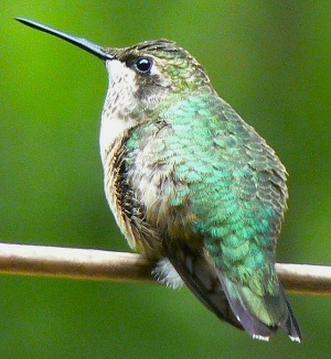 Ruby-throated Hummingbird (Tim Ross Wiki)