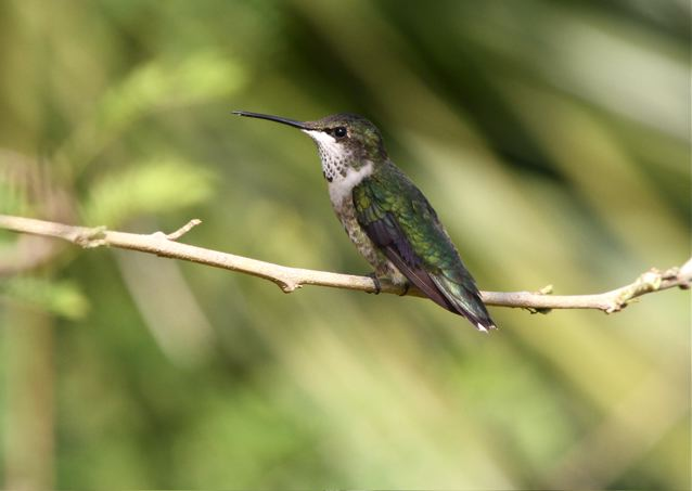 Ruby-throated Hummingbird (male, imm), Abaco (Bruce Hallett)