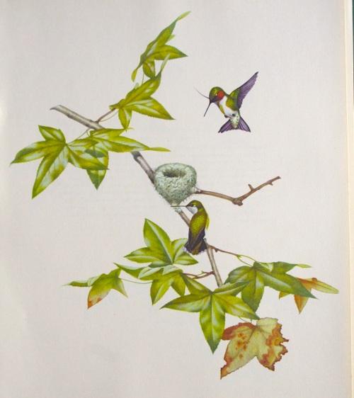 Ruby-throated Hummingbird - Menaboni