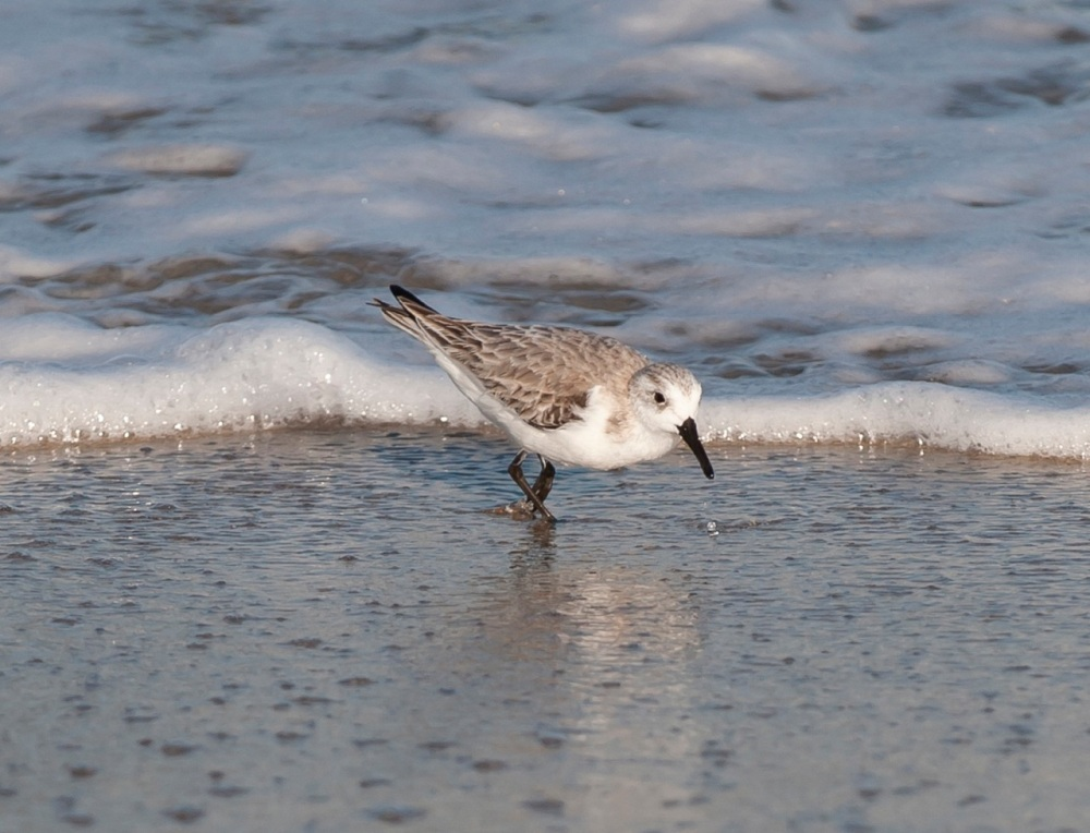 Sanderling.Abaco Bahamas.Tom Sheley1