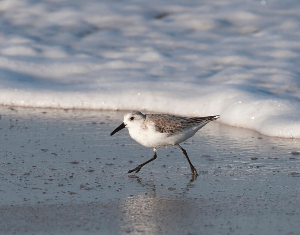 Sanderling.Abaco Bahamas.Tom Sheley2