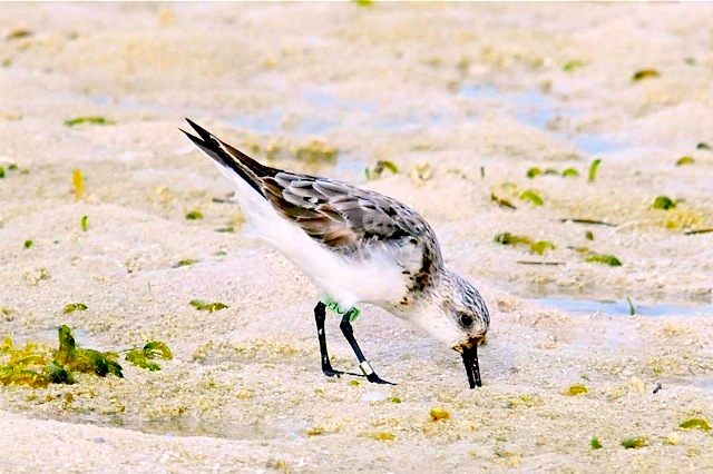 Sanderling, Abaco (Tony Hepburn) copy