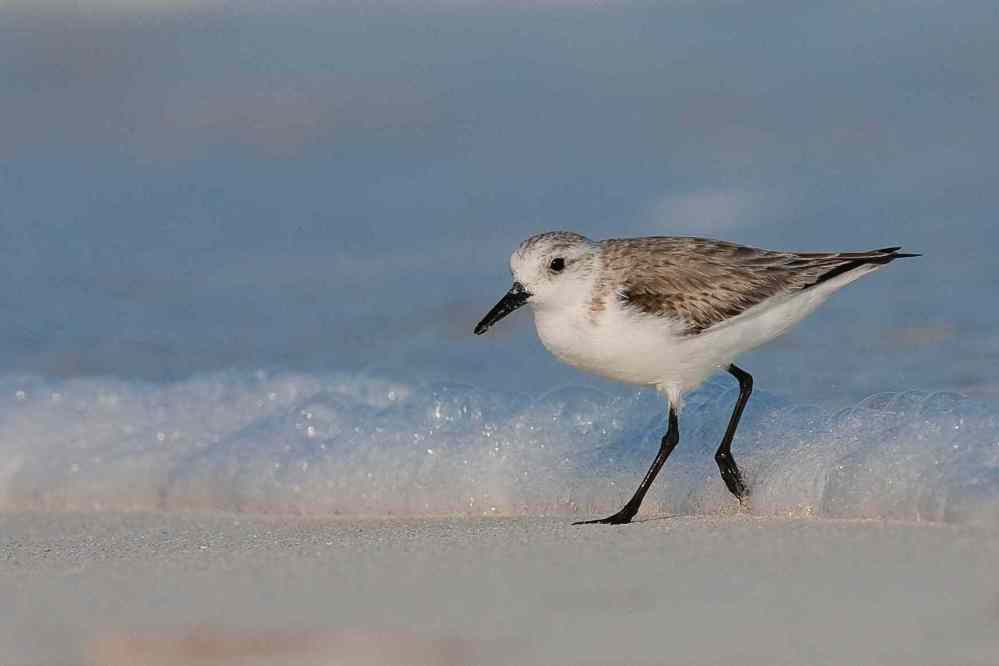 Sanderling in the Surf, Abaco (Craig Nash)