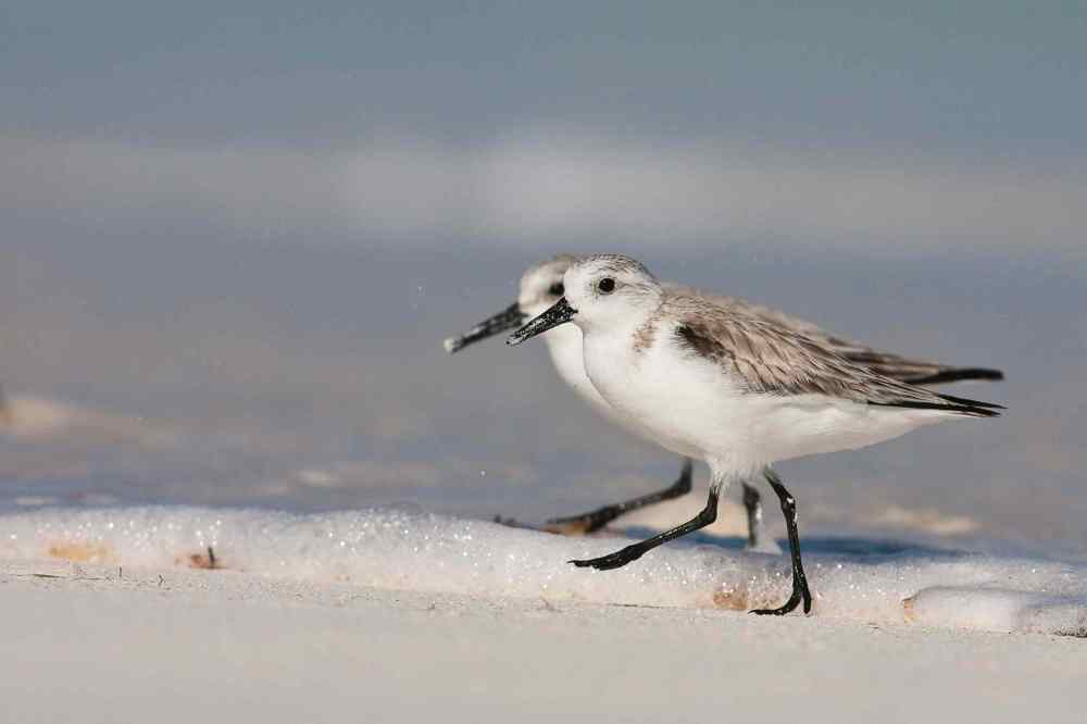 Sanderling Pair, Abaco (Craig Nash)