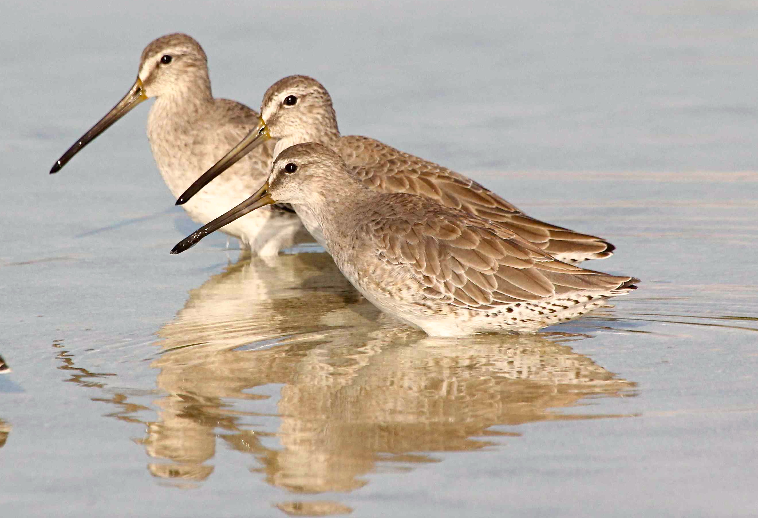 Short-billed Dowitcher, Abaco (Bruce Hallett)