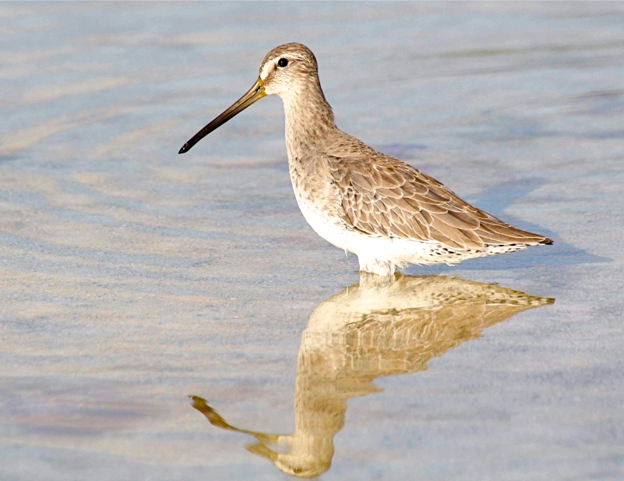 Short-billed Dowitcher, Abaco 2 (Bruce Hallett)